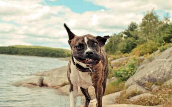собака, бультерьер, прикольные, стаффордширский, породы, американский, собаки, приколы, очень, собаку,