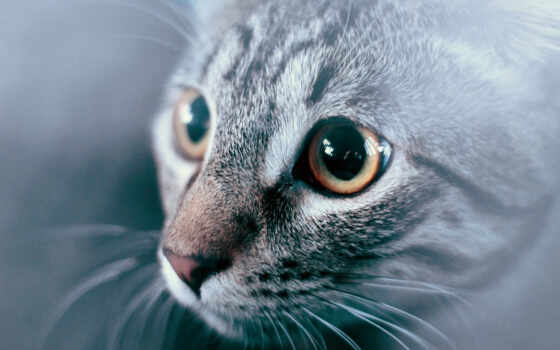 кот, американский, shorthair, cute, биг, gato