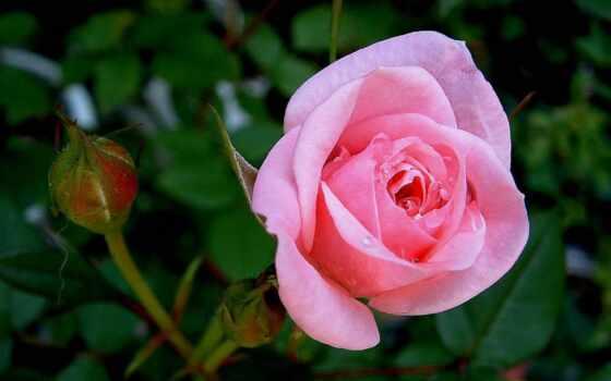 взлёт, цветы, роза, hybrid, amaze, чая, комментарий, mobile, explore, relate