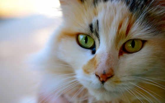 кот, трехцветная, котэ