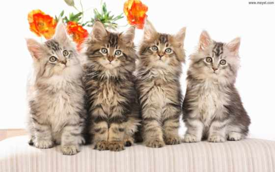 котята, пушистые, мяу, кис, кошки, кошек, zhivotnye, квартет, гороскоп, котенка, kun,