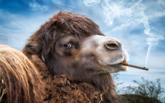 camel, cigarettes, сигарета, camels, free, pinterest, дым, promotion, promotional, прикол,