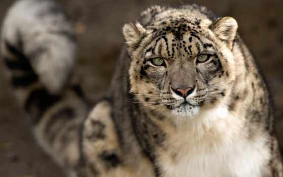 zhivotnye, природа, леопард, снег, животных, кот, хищник, снежные, барсы, ирбис,