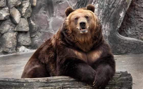 медведь, log, бесплатные, медведи, широкоформатные, красивые, опираясь, лежит, house,