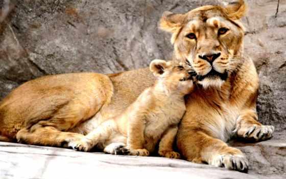baby, мама, animals, animal, love, lion, more,