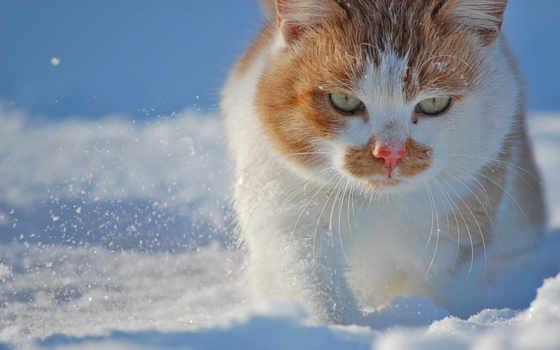 снег, коты, кот