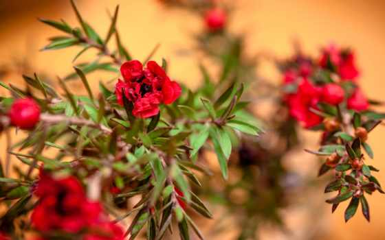 лепестки, иней, cherry, plante, thức, vật, blomst,