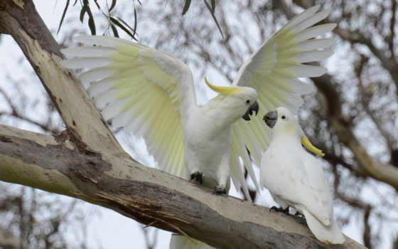 попугай, какаду, большой, желтохохлый, животные, картинку, картинка, птицы, ветка, widescreen, фона, животными, веселые, bird,