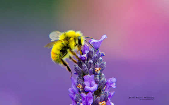 заставки, пчелка, белые
