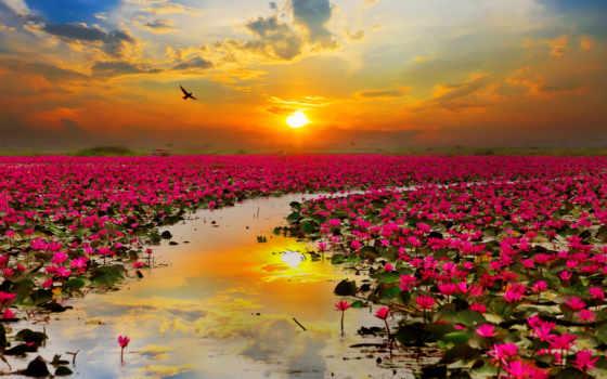 flor, loto, tailandia, imágenes, сол, fotos, más, foto, stock,
