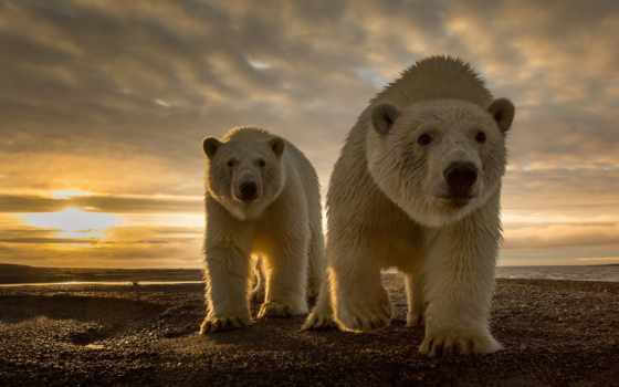 коллекция, медведь, white, фон, закат, permission, user, смотреть