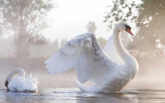 Лебедь расправил большие крылья
