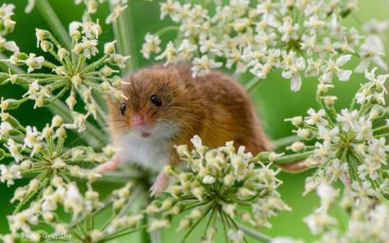 mouse, baby, колосья