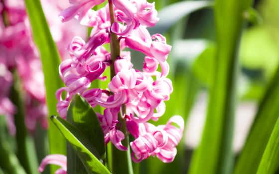 гиацинтовый, розовый, flowers