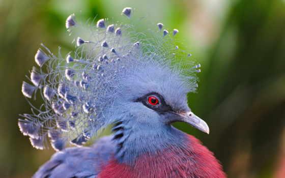птица, голубь, венценосный, перья, цветы, страница, crowned, попугай, zhivotnye, птицы,