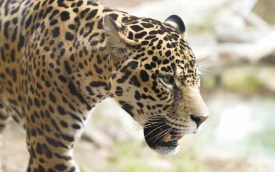 кот, jaguar, дикая, морда, profile, iphone, ягуары,