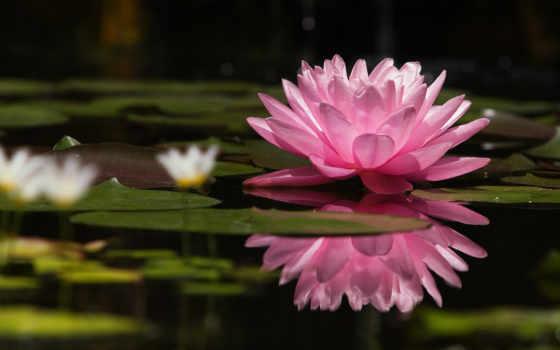 cvety, природа, lily, под, розовый, цветы, кувшинка, lotus, старину, водная,