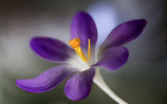 цветы, flowers, роза, gold, розовый, high, purple, flori,