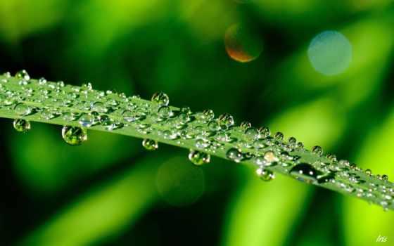 капли, makro, voda, rosa, зелень, листья, листочки,