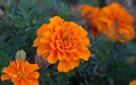 бархатцы, однолетних, они, растений, cvety, rod, многолетних, tagetes,