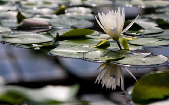 цветы, озеро, природа