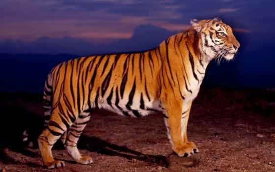 тигр, profile, zhivotnye