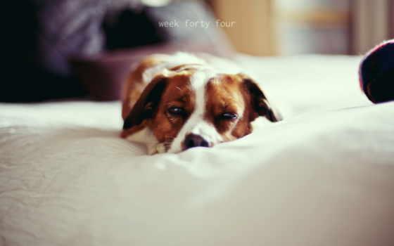 собака, уют, широкоформатные