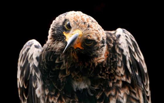 птица, орлан, смотреть, орла, клюв, перья,