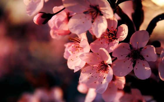 Сакура, cvety, весна, branch, цветение, cherry, розовые, макро,