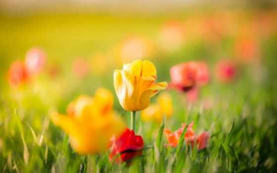 flores, amarillas, fondos, fondo, pantalla, tulipanes, rojas, pin, pictures, para,