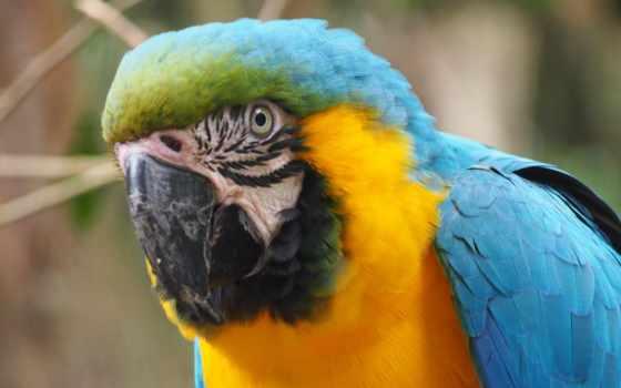 ara, попугай, desktop, птица,