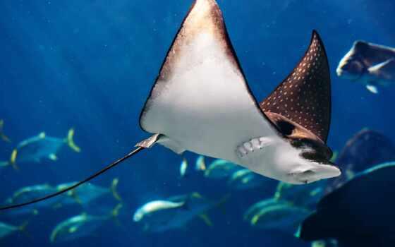 море, fish, ocean, life, underwater, manta, birostris, water