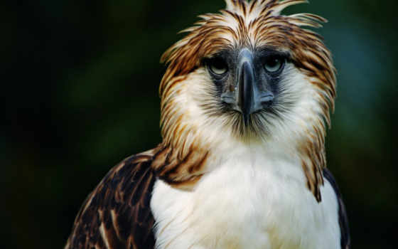 орлан, птица, хищник