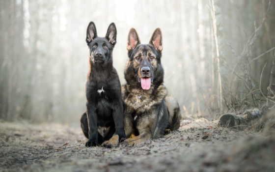 собаки, animals, щенок