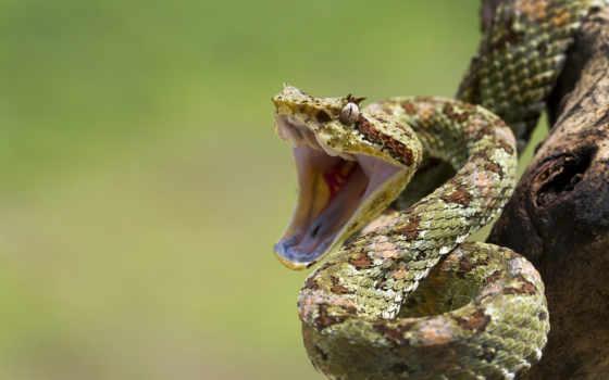 snake, змеи, пасть, zhivotnye, рептилии, шкала, картинка, агрессия, самые, опасные, айфон,