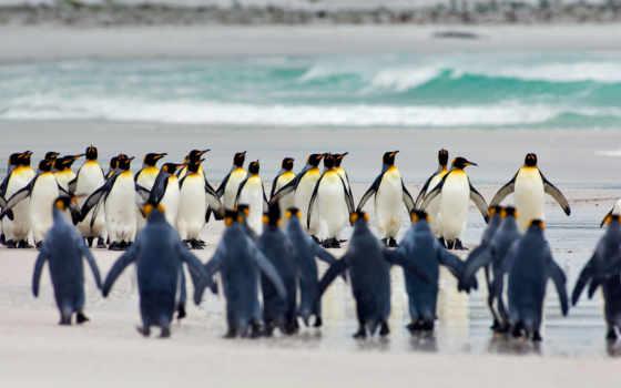 пингвин, penguins, king, free, планшетный, falkland,