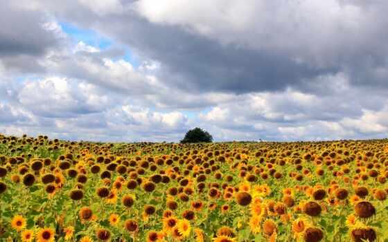 campo, girassol, girasol, seed, подсолнух, parede, nube, еда, papéis, flor