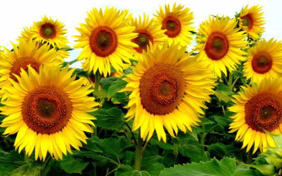 подсолнухи, цветы, небо