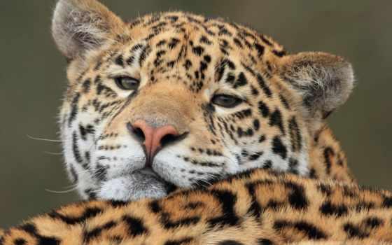 ягуары, zhivotnye, jaguar, взгляд, devushki, даешь, страница, desktop,