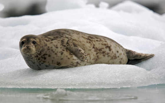 тюлень, обыкновенный, тюленей