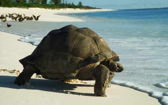 черепаха, фон, animal