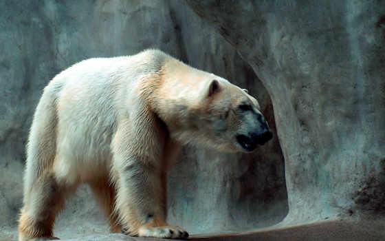 polar, медведь, bears,