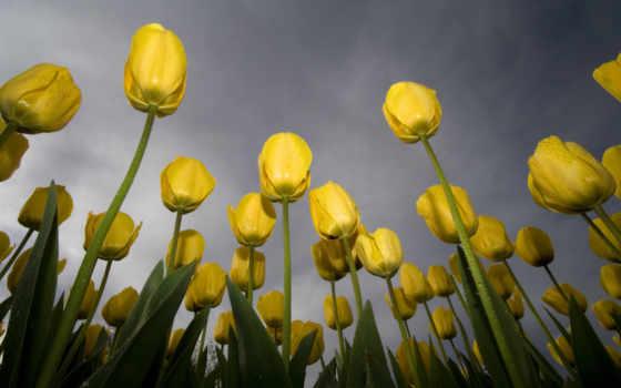 тюльпаны, роса, цветы, страница, yellow, желтые, possible, роза, pic, установить, небо,