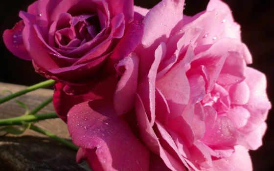 розы, цветы, pozadine