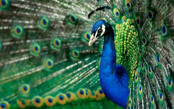 peacock, хвостом, tail