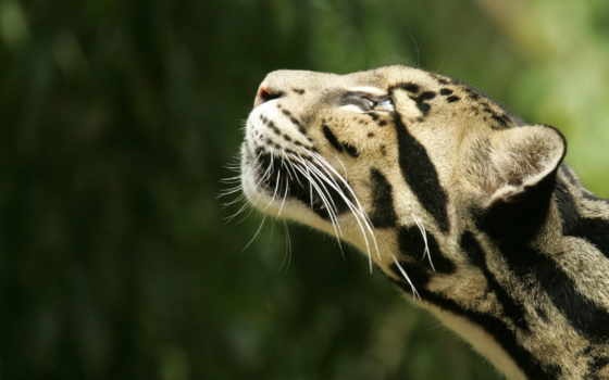кот, леопард, дымчатый, haus, малыш