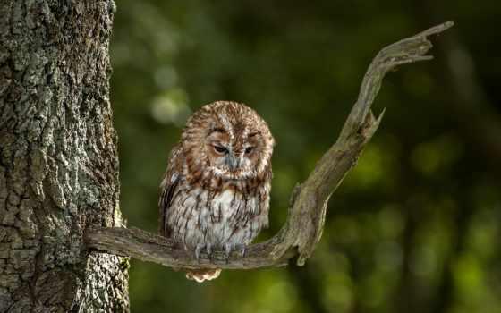 сова, branch, птица, дерево, смотрит, ветке, nick, дерева, holland, совы,