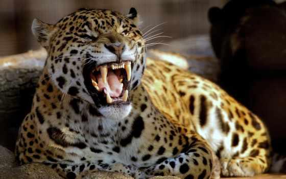леопард, free, images, desktop, хищник, фон,
