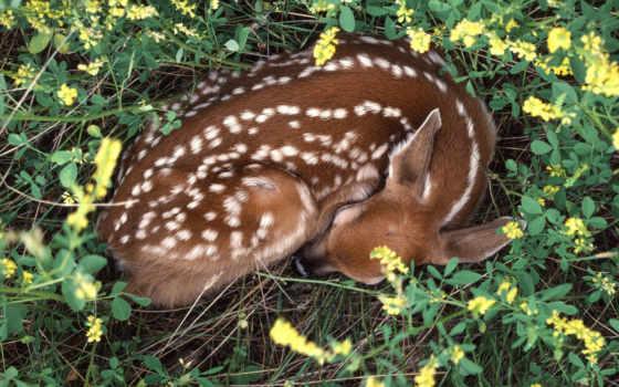 sleeping, fawn, zhivotnye, card, спящие, дикие, яndex, marunja, коллекциях, margaritkaoma,