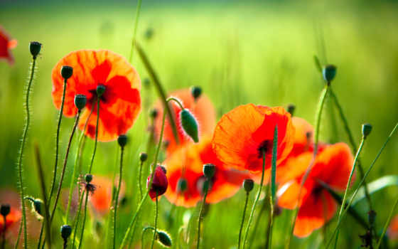маки, полевые, cvety, фотообои, красные,
